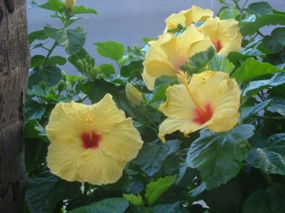 Hibiscus - State Flower