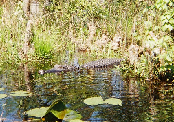 Cypress Gardens Visitor (Alligator)