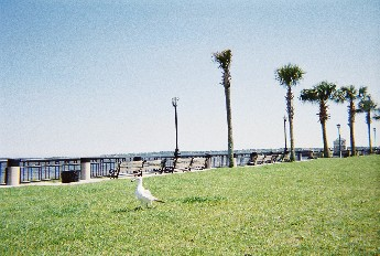 Picture of Sea Gull